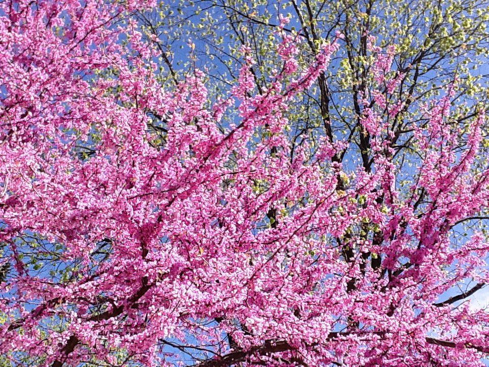 Pink redbud tree in spring, tree in background, blue sky